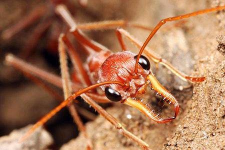 The Red Jumping Ant (M. gratiosa) Western Australia Their Bite Hurts!